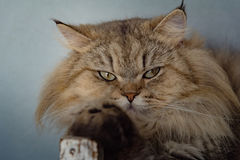 Sitzen der großen Katze Lizenzfreie Stockfotos