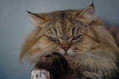Sitzen der großen Katze Stockfotografie