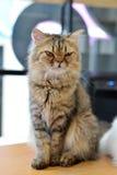 Sitzen der persischen Katze Stockfotos