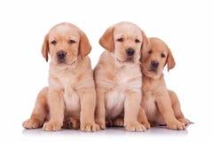 Sitzen mit drei labrador retriever-Hündchen lizenzfreie stockbilder