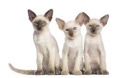Sitzen mit drei orientalisches Shorthair Kätzchen Stockbilder