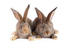 Sitzen mit zwei braunes Kaninchen Stockfoto