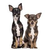 Sitzen mit zwei Chihuahua Stockfotografie