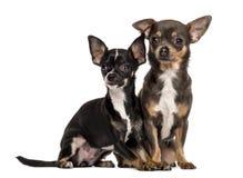 Sitzen mit zwei Chihuahua Lizenzfreie Stockfotos