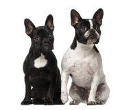 Sitzen mit zwei französischen Bulldoggen Lizenzfreies Stockfoto
