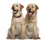 Sitzen mit zwei Labrador-Apportierhunden Lizenzfreies Stockbild