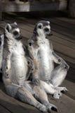 Sitzen mit zwei Lemurs stockbild