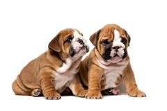 Sitzen mit zwei nettes englisches Bulldoggenwelpen folgend, sorgfältig hörend, lokalisiert auf einem weißen Hintergrund stockfotos