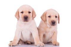 Sitzen mit zwei nettes labrador retriever-Hündchen Lizenzfreie Stockbilder