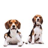 Sitzen mit zwei schönes Spürhunden Lizenzfreie Stockfotos