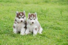 Sitzen mit zwei Welpen des sibirischen Huskys Lizenzfreie Stockfotos