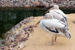 Sitzen rosa Pelikan zwei (weiße Vögel) mit den langen Schnäbeln nahe dem wate Lizenzfreie Stockfotografie