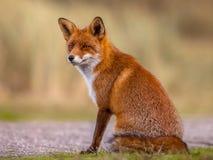 Sitzen und Aufwartung des roten Fuchses Lizenzfreie Stockfotos