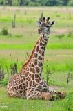 Sitzende Giraffe Lizenzfreies Stockfoto