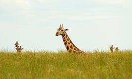 Sitzende Giraffen im langen Gras Stockbild