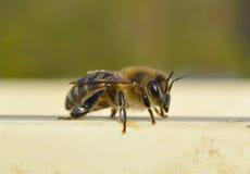Sitzende Honigbiene des Makrofotos Lizenzfreie Stockfotografie
