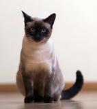 Sitzende junge erwachsene siamesische Katze Lizenzfreie Stockfotografie
