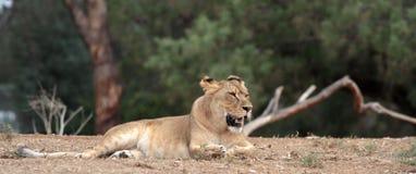 Sitzende Löwin Stockbild