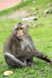 Sitzende neugierige schauende Affen Stockbilder