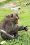 Sitzende neugierige schauende Affen Lizenzfreies Stockfoto