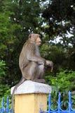 Sitzende neugierige schauende Affen Stockfoto