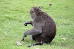 Sitzende neugierige schauende Affen Stockfotografie