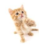 Sitzende rote Katze getrennt auf weißem Hintergrund Lizenzfreies Stockfoto