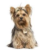 Yorkshire Terrier, das die tragenden Bögen, lokalisiert sitzt Stockfotografie