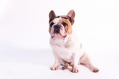 Sitzende tragende Sonnenbrillen der Bulldogge Stockbilder