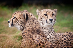 Sitzende und stillstehende Geparde lizenzfreie stockfotografie
