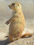 Sitzende Warnung des amerikanischen Präriehunds zur Aufmerksamkeit, Phoenix, arizon Lizenzfreies Stockbild