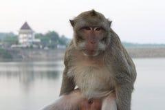 Sitzender Affe Stockfotos