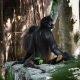 Sitzender Affe Stockbild