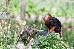 Sitzender Affe Lizenzfreies Stockfoto