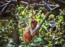 Sitzender Affe auf dem Baum, in Kathmandu Lizenzfreie Stockfotografie