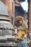 Sitzender Affe auf swayambhunath Stockbilder