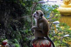 Sitzender Affe, der Finger in Kuala Lumpur, Malaysia zeigt lizenzfreie stockbilder