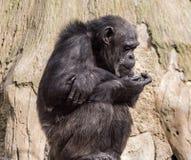 Sitzender Affeschimpanse in einem Zoo auf Hintergrund des Holzes Lizenzfreie Stockbilder