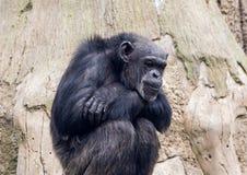 Sitzender Affeschimpanse in einem Zoo auf Hintergrund des Holzes Stockbilder