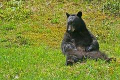 Sitzender Bär. Stockfoto