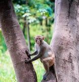 Sitzender Baum des Affen Lizenzfreies Stockbild