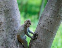 Sitzender Baum des Affen Stockfotografie
