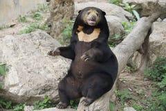 Sitzender dunkelbrauner Bär Stockbild
