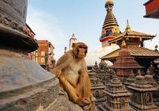Sitzender Fallhammer auf swayambhunath stupa Stockfotos