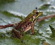 Sitzender Frosch Stockbild