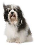 Sitzender havanese Hund Lizenzfreie Stockbilder