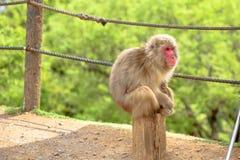 Sitzender japanischer Makaken Lizenzfreie Stockbilder