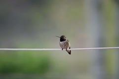 Sitzender Kolibri auf Linie Lizenzfreie Stockfotografie
