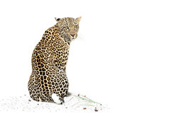 Sitzender Leopard Lizenzfreies Stockfoto