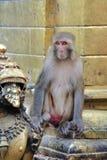 Sitzender Makakenaffe Stockfotos